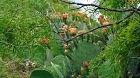 Texas Prickly-Pear Catus colorido fotografía de archivo