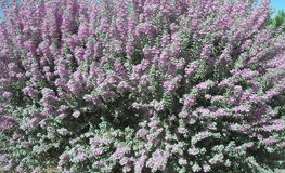 Texas Ranger de floraison Images libres de droits