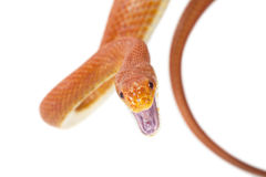 Texas rat snake attacking. Red Texas rat snake attacking. Isolated on white background Stock Photography