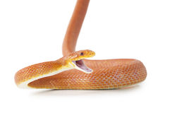 Texas rat snake attacking. Red Texas rat snake attacking. Isolated on white background Royalty Free Stock Image