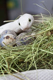 Texas rat snake in a bird's nest Stock Photography