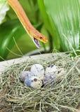 Texas rat snake in a bird's nest Stock Photo