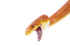 Texas rat snake closeup. On white background Royalty Free Stock Images