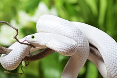 Texas rat snake creeping on branch Royalty Free Stock Image