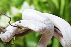 Texas rat snake creeping on branch Royalty Free Stock Image