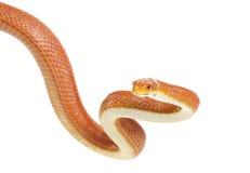 Texas rat snake (Elaphe obsoleta lindheimeri) Royalty Free Stock Photo