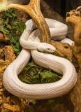 Texas Rat Snake Elaphe-obsoletalindheimerii stock foto