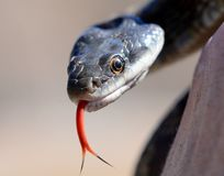 Texas rat snake portrait Royalty Free Stock Photos