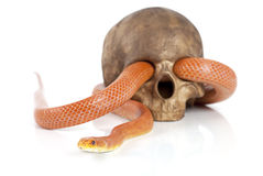 Texas rat snake with skull Royalty Free Stock Photos