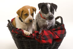 Texas Red and blue Heeler Royalty Free Stock Photography