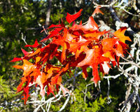 Texas red oak leaves. Brilliantly red autumn leaves of a Texas read oak tree lighted up by late afternoon sun in Balcones Canyonlands National wildlife Refuge Stock Images