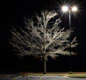 Texas Red Oak tree at Night Quercus texana. Illuminated by a street light Stock Photo