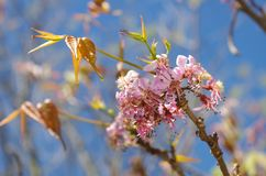Texas redbud flowers and leaves. The Texas redbud tree Cercis canadensis blooms in the spring before the leaves appear and adds bright purple to the landscape Royalty Free Stock Image