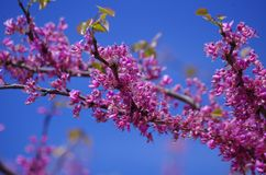 Texas redbud flowers. The Texas redbud tree Cercis canadensis blooms in the spring before the leaves appear and adds bright purple to the landscape royalty free stock photos