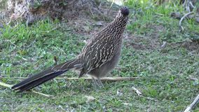 Texas roadrunner on grass