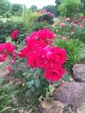 Texas Rose Boolms del este de la primavera imagenes de archivo