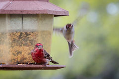 Texas Ruby Red House Finch Arkivbilder