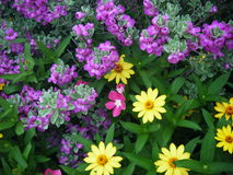 Texas sage and flowers. Texas sage bush and yellow flowers royalty free stock photo