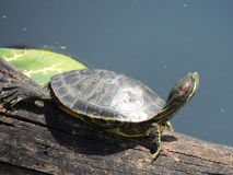 Texas-Schildkröte Stockfotografie