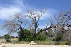 Texas size tree. Large spread out Mesquite tree, common in Texas and the southwest Stock Photography