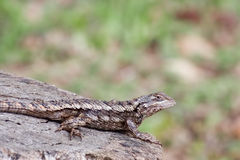 Texas Spiny Lizard. (Sceloporus olivaceus).  Shot at Buchanan Dam, Texas Royalty Free Stock Photos