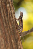 Texas spiny lizard Royalty Free Stock Photography