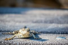 Texas Spiny Lizard en Harlingen, Tejas imagenes de archivo