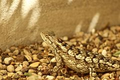Texas Spiny Lizard Stock Images