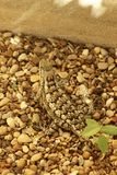 Texas Spiny Lizard Stock Photos