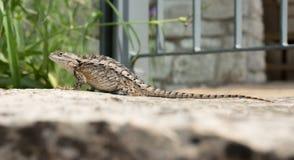 Texas Spiny Lizard på en vagga Fotografering för Bildbyråer