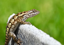 Texas spiny lizard Stock Photography