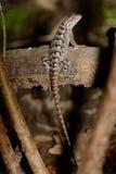 Texas Spiny Lizard - Sceloporus olivaceus Stock Images