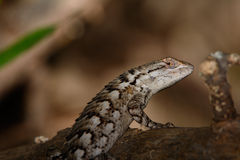 Texas Spiny Lizard - Sceloporus olivaceus - on log. Copy space Stock Images