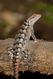 Texas Spiny Lizard - Sceloporus olivaceus Royalty Free Stock Photography