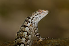 Texas Spiny Lizard - Sceloporus olivaceus. Standing on log Stock Photos