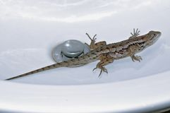 Texas spiny lizard Sceloporus olivaceus trapped in sink royalty free stock images