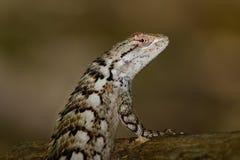 Texas Spiny Lizard - Sceloporusolivaceus Arkivfoton
