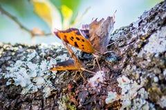 Texas Spring-Zeit Schmetterlinge, die Schlamm trinken, schmelzen von einer Eiche lizenzfreie stockfotografie