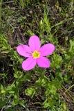 Texas Star Flower Royaltyfri Bild