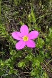 Texas Star Flower. Sabatia Estris, also called Texas Star or Meadow Pink. Smooth annual garden plant or perennial wildflower. The flower has five petals and are royalty free stock image