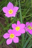 Texas Star Flower. Sabatia Estris, also called Texas Star or Meadow Pink. Smooth annual garden plant or perennial wildflower. The flower has five petals and are royalty free stock photos