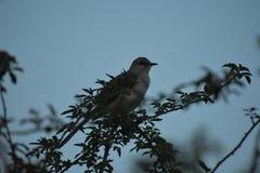 Texas State Bird...Mocking Bird royalty free stock photography