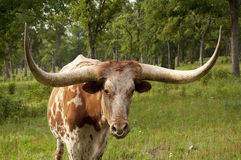 Texas Steer Royalty Free Stock Images
