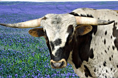 Texas Steer Stock Images