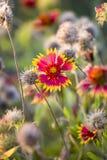 Texas Summer Wildflowers ad alba Fotografie Stock