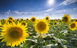 Texas Sunflower Field Fotografia Stock