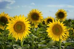 Texas Sunflower Field arkivbild