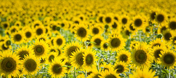 Texas Sunflower Field Photos stock