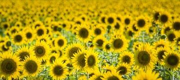 Texas Sunflower Field Photos stock