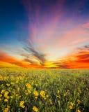 Texas Sunflower Field Photo libre de droits